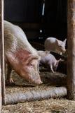 stor pig Aveldjur Jordbruk royaltyfria foton