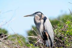 Stor plumage för blåttheronavel fotografering för bildbyråer