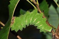 Stor Polyphemus larv som äter eksidor royaltyfria bilder
