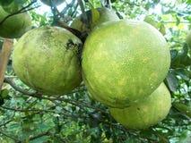 Stor pomleo tre eller grapefrukt på trädet Royaltyfri Fotografi