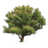Stor poplartree Arkivbild