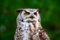 stor portait för horned owl arkivbild
