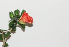 Stor prålig orange hibiskusblomma Fotografering för Bildbyråer