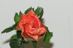 Stor prålig orange hibiskusblomma Royaltyfri Bild