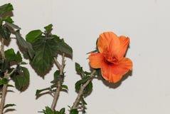 Stor prålig orange hibiskusblomma Royaltyfria Bilder