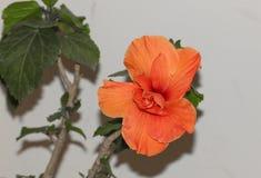 Stor prålig orange hibiskusblomma Arkivfoton