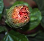 Stor prålig orange hibiskusknopp Arkivfoton