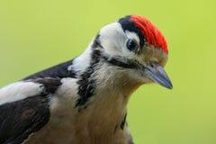 Stor prickig hackspett, detaljnärbildstående av fågelhuvudet med det röda locket, svartvitt djur, Tjeckien Arkivbild