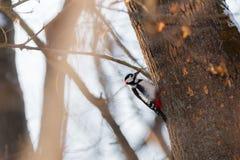 Stor prickig hackspett på ett träd, exponerat av den ljusa solen royaltyfria foton