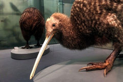 Stor prickig kiwi på skärm i det Auckland museet royaltyfri fotografi