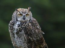 stor profil för horned owl Arkivbild