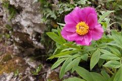 Stor purpurfärgad blomma av pionen Royaltyfri Foto