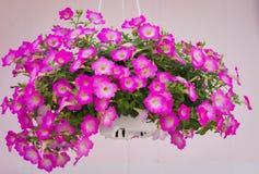 Stor purpurfärgad blommakruka arkivbild