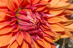 Stor röd blomma Arkivbild