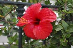 Stor röd blomma för hibiskus Fotografering för Bildbyråer