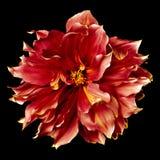 Stor röd blommadahlia Fotografering för Bildbyråer