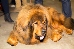 Stor röd brunn ansad tibetan mastiff Royaltyfri Foto