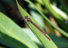 Stor röd Damselfly, Pyrrhosoma nymphula Arkivfoto