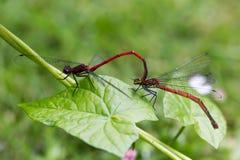 Stor röd damselfly-, Pyrrhosoma nymphula, man och kvinnligkopula royaltyfria bilder