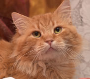 stor röd fluffig housecat Royaltyfri Fotografi