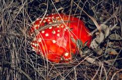 Stor röd flugsvamp på brun bakgrund Arkivfoton