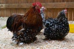 Stor röd hane på lantgården royaltyfri fotografi