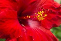 Stor röd hibiskus Royaltyfri Bild