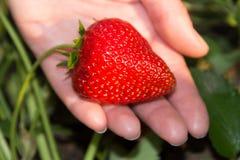Stor röd och mogen jordgubbe i handen på en säng, trädgård Royaltyfri Fotografi