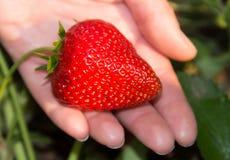 Stor röd och mogen jordgubbe i handen på en säng, trädgård Arkivbilder