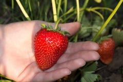 Stor röd och mogen jordgubbe i handen på en säng, trädgård Fotografering för Bildbyråer
