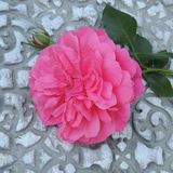 Stor röd ros med en knopp på en grå bakgrund Arkivfoto