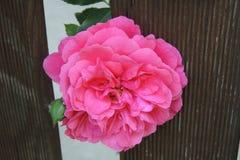 Stor röd ros med en knopp på en träbakgrund Fotografering för Bildbyråer