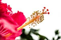 Stor röd rosa färgblomma Royaltyfria Foton