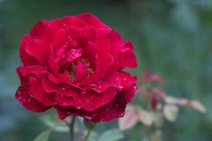 Stor röd rosblomma Arkivbilder