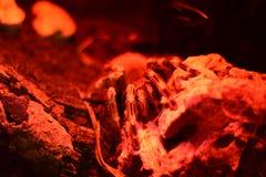 Stor röd spindel arkivbild