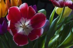 Stor röd tulpan med kronblad Royaltyfri Fotografi