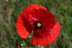 Stor röd vallmo i ett fält, på våren, på en solig dag, mot en bakgrund av grönt gräs Arkivfoton