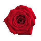 Stor röd isolerad rosblomma Arkivbilder