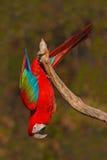 Stor röd papegojaRöd-och-gräsplan ara, munkhättachloroptera som sitter på filialen med huvudet ner, Brasilien Arkivfoto