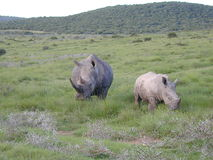 stor rhinoceraus Arkivfoto