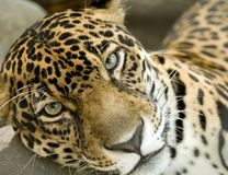 stor rica för panthera för onca för kattcostajaguar Arkivbild