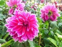 Stor rosa dahlia Royaltyfri Foto