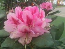 Stor rosa färgblomma Royaltyfria Bilder