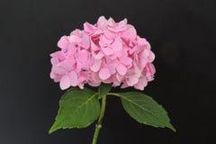 Stor rosa färgblomma på en svart bakgrund Royaltyfria Foton