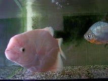 Stor rosa färgfisk i behållare Arkivfoto