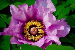 Stor rosa hibiskus Arkivbild