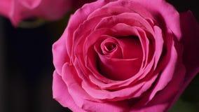Stor rosa rosa knopp i makro arkivfilmer