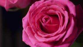 Stor rosa rosa knopp i makro lager videofilmer