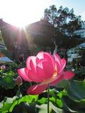 Stor rosa lotusblommablomma framme av en koreansk buddistisk tempel under solljus arkivbild