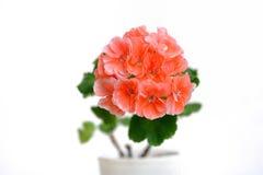 Stor rosa pelargonblomma på en vit bakgrund royaltyfri bild